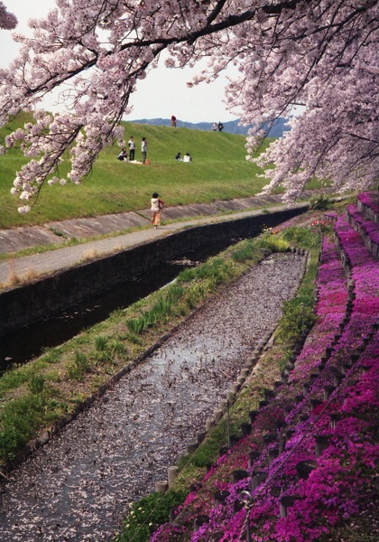 芥川桜036
