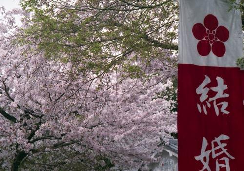 芥川桜041