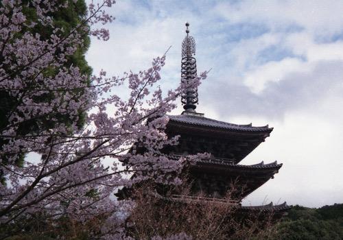 醍醐寺桜021